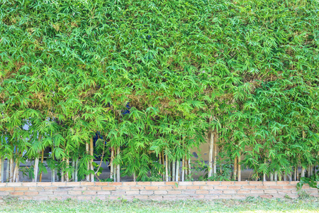 Bamboo tree with green leaves natural fence decoration outdoor background