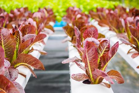 Fresh organic red leaves lettuce salad plant in hydroponics vegetables farm system Banco de Imagens