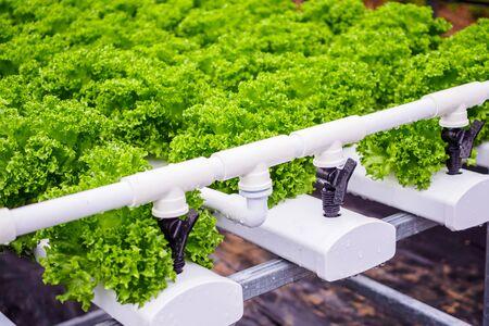 Fresh organic green leaves lettuce salad plant in hydroponics vegetables farm system Banco de Imagens