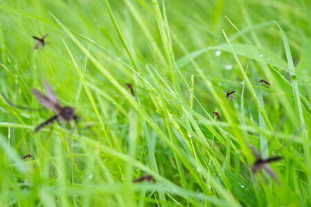 Beaucoup de moustiques dans le champ d'herbe verte