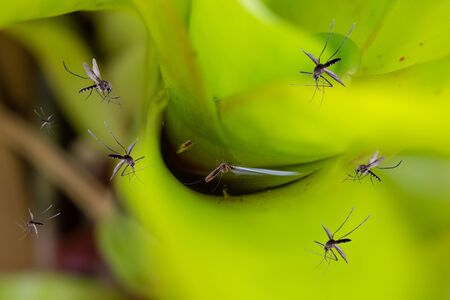 Many mosquitoes fly over stagnant water in leaf plant in the garden