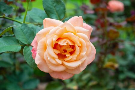 Beautiful rose flowers in greenhouse plantation