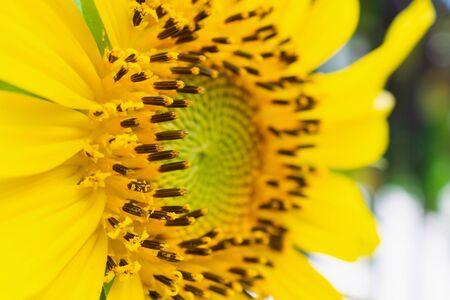Beautiful sunflower closeup in the garden