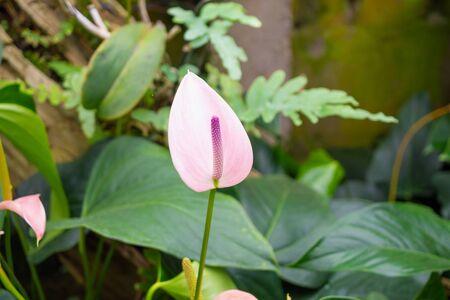 anthurium flowers in tropical garden background Zdjęcie Seryjne