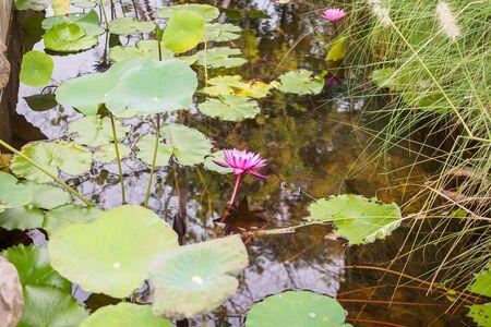 water lily or lotus flower in the garden pond Zdjęcie Seryjne