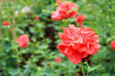 Beautiful red roses in flower garden