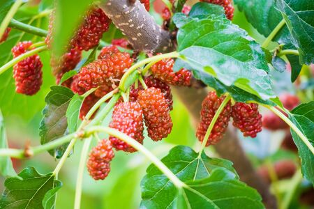 Red ripe Mulberry fruit on tree branch close up Stockfoto
