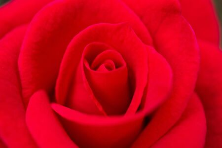 Beautiful red roses flower close up background
