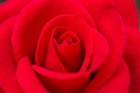 Hermosas rosas rojas cerca de la flor de fondo