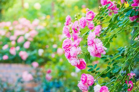 Beautiful pink roses flower in the garden