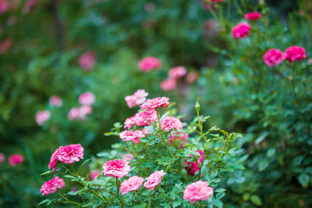 Beautiful colorful pink roses flower in the garden