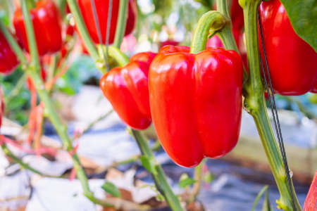 Red bell pepper plant growing in organic garden