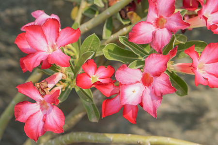 pink flower and blurred background,selective soft focus (desert rose,impala lily)