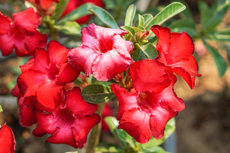 red tropical flowers (impala lily,desert rose)