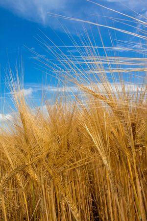 Rye field under the summer hot sun, ripe ears of rye and blue sky Stock fotó