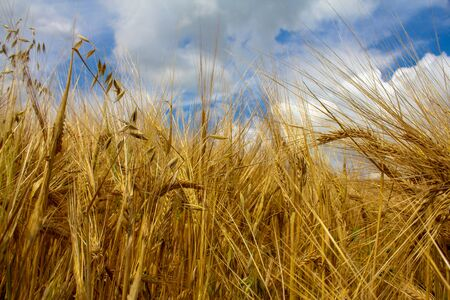 Rye field under the summer hot sun, ripe ears of rye and blue sky Stock Photo