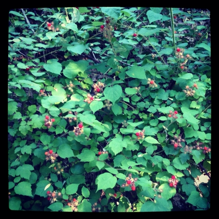 Wild raspberries ripe for the picking
