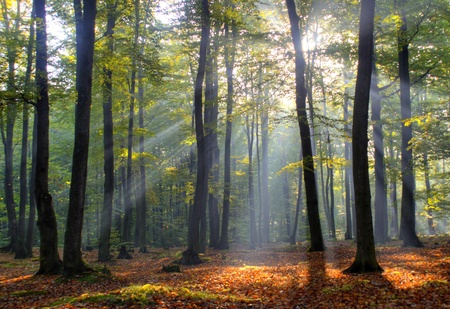 autumn leafs: Morning in old beech forest. Autumn. Poland. Stock Photo