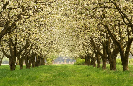 orchards: Spring in cherry orchard. Poland. Stock Photo