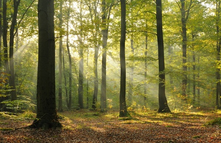 Autumn dawn in old beech forest. Central Poland. photo