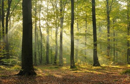 Herfst dageraad in oude beukenbos. Centraal Polen.