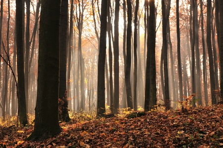 Dawn in autumn beech forest. Stock Photo