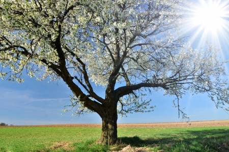 Blossomin cherry tree in Poland Stock Photo