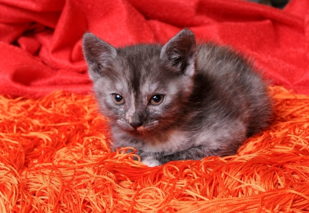 Young funny grey cat photo