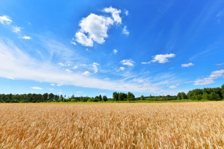 Summer landscape - Wheat field and blue sky with clouds photo