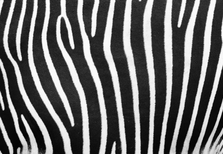 Black and white zebra texture or background taken from real animal photo