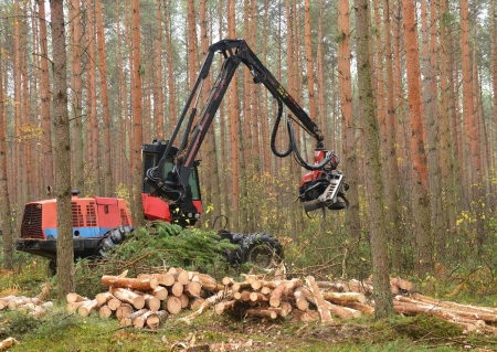 Forestry heavy harvester chopping trees