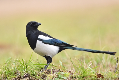 Magpie bird on the grass photo