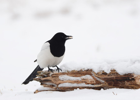 difficult period: Magpie on branch