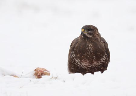 common buzzard in the snow photo