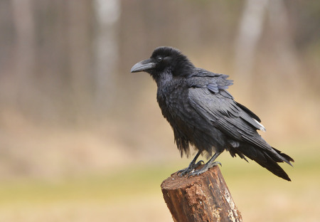 Raven sitting on the branch photo