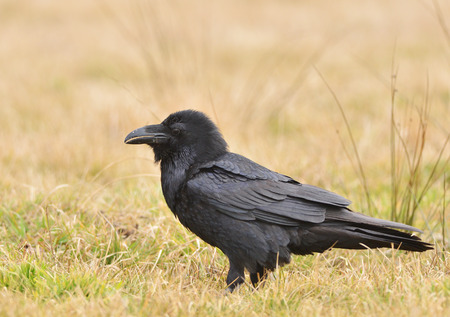 corax: Raven sitting on the ground