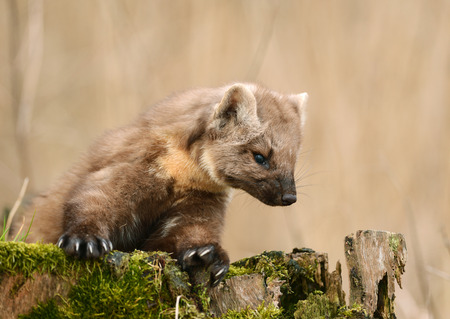 carnivora: Pine marten rare species in natural habitat (Martes martes)