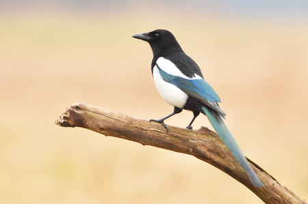 magpie bird sitting on the branch photo