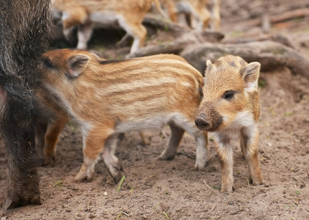 pigling: Young wild boar (Sus scrofa specie) in striped fur Stock Photo