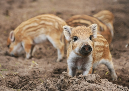 pigling: Young wild boar  Sus scrofa specie  in striped fur Stock Photo