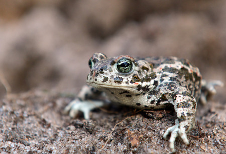 specie: Endangered specie of toad - bufo calamita