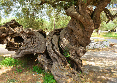 More than 2000 years old olive tree on Greece island Zakynthos photo