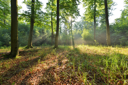 Beautiful moring in beech forest photo
