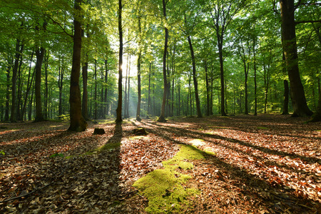 Beautiful moring in beech forest Stock Photo
