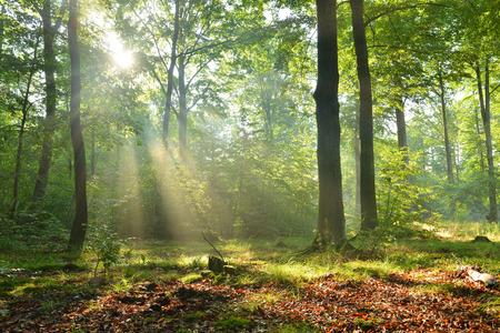 너도밤 나무 숲에서 아름다운 moring