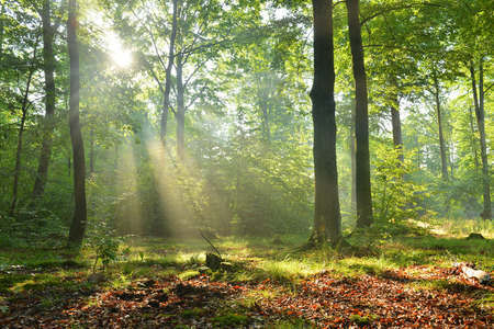 Beautiful moring in beech forest Stockfoto