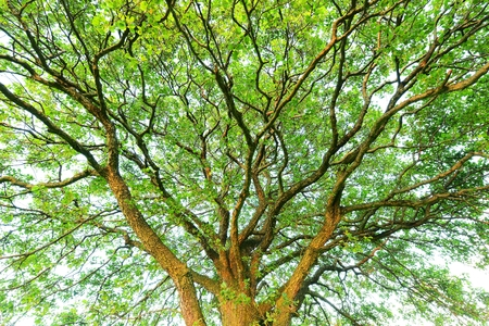 huge tree: Huge tree canopy Stock Photo