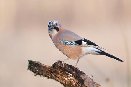 garrulus: Jay bird garrulus glandarius Stock Photo