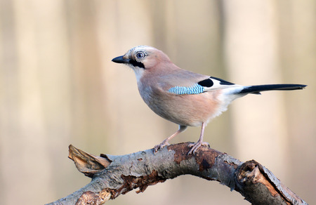Jay bird garrulus glandarius photo
