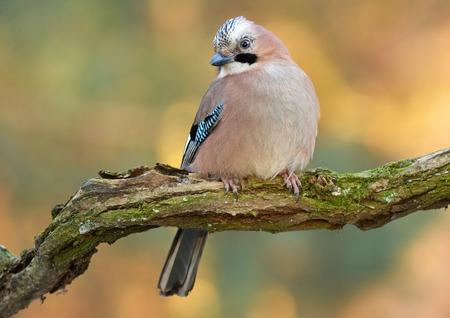 jay: Jay bird Stock Photo
